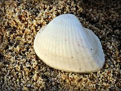 Ark Clams (tinlight7) Tags: beach sand dubai uae shell clam seashell animalia mollusca bivalvia jumeirah taxonomy:kingdom=animalia taxonomy:phylum=mollusca taxonomy:class=bivalvia arkclam arcidae anadara arcoida taxonomy:order=arcoida taxonomy:family=arcidae taxonomy:genus=anadara inaturalist:observation=1505609 taxonomy:binomial=anadarauropigimelana anadarauropigimelana