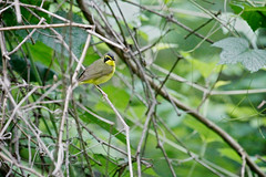 Kentucky Warbler (miller genuine craft) Tags: virginia kentucky smithfield warbler
