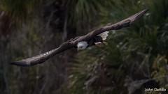 A Bald eagle hunting over the Juniper River near Astor Florida (flintframer) Tags: bald eagle birds florida wildlife nature flinght juniper river central hunting canon eos 7d mark ii ef100400mm