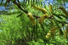 Flores y abejas (mariarl_art) Tags: tree rbol flower abejas algarrobo