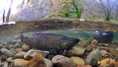 The Waiting Giant (Fish as art) Tags: willamettenationalforest salmon chinooksalmon kingsalmon fisheries biodiversity oregonstateuniversity oregonsalmon oregonhatcheryresearchcenter cascaderange endangeredspeciesact unitedstateswilderness strangeperspectives shallowwater oregonstreams