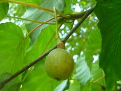 Frucht Taschentuchbaum (Jrg Paul Kaspari) Tags: kanzem saar park weingut von othegraven herbst autumn fall september taschentuchbaum davidia involvucrata frucht fruit