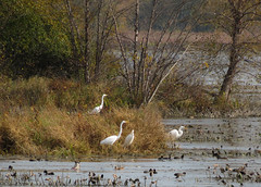 Egrets (mahar15) Tags: wildlife wetlands nature wisconsin birds outdoors egret backwaters landscape wildliferefuge marshland trempealeauwildliferefuge