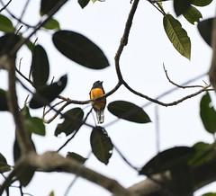 Amazonian Trogon (Trogon ramonianus) (perdixphotos) Tags: amazonian trogon ramonianus