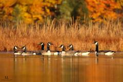 Bernaches du Canada  -  Canada goose (Maxime Legare-Vezina) Tags: bird oiseau nature wild wildlife animal fauna biodiversity ornithology goldenhours fall automne lake canon reflection