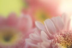 Heart and Soul (EdiB.) Tags: macro flower pastel