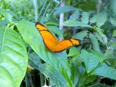 Hortus Botanicus-08 (Quetzalcoatl002) Tags: hortusbotanicus vlindertuin butterflies amsterdam vlinders butterflygarden closeup