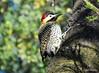 DSC_0092 (RachidH) Tags: birds oiseaux woodpecker pic greenbarredwoodpecker colaptesmelanochloros picvertetnoir carpinterorealnorteño bosquesdepalermo palermo woods buenosaires argentina rachidh nature