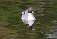Northern Pintail (careth@2012) Tags: nature wildlife reflection reflections northernpintail beak feathers lake waterfowl