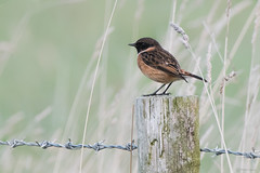 Stonechat (Shane Jones) Tags: stonechat bird wildlife nikon d500 200400vr tc14eii