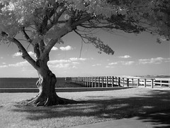 Pier tree (tishpitt1) Tags: ir infrared canonsd790is pier water peaceriver puntagorda florida