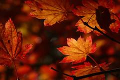Acer japonicum Itaya 4 (wundoroo) Tags: nybg newyorkbotanicalgarden newyork bronx fall autumn november leaves maple acer