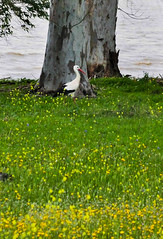 IMG_7783-1 (Andre56154) Tags: spanien spain andalusien andalusia guadalquivir vogel bird storch stork tier animal flus river wasser water ufer wiese blume flower baum tree