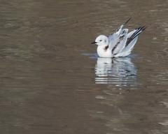 Black-legged Kittiwake (J.B. Churchill) Tags: allegany blki birds blackleggedkittiwake gullsterns maryland places rockygapsp taxonomy