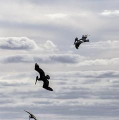 Tag Team (Scott Sanford) Tags: nature naturallight outdoor wildlife animals birds beach shore gulfofmexico bolivar pelican feeding waves sand clouds sky sunlight canon eos ef100400mmf4556lisiiusm 6d flying