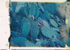 Prickly Pear - New55 Color test film (DavidVonk) Tags: vintage instant film analog polaroid graflex crowngraphic optar prickly pear cactus fruit test 545 holder new55 new55color color spines needles