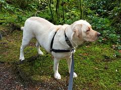 Gracie surveying the scene (walneylad) Tags: gracie dog canine pet puppy lab labrador labradorretriever cute october fall autumn