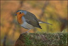 Rouge gorge familier ( Erithacus rubecula ) (norbert lefevre) Tags: oiseau chanteur rougegorge familier plumage d500 nikon