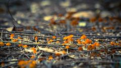 Mushrooms... (Tarek_Mahmud) Tags: 2016 bangladesh sreemongal sremanga sylhit tmp tmphotography tarek tarekmahmud mhd travel trk trkmhd mushrooms nature