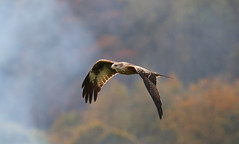 Red Kite In Flight----In Explore 26-10-2016 (Ron Vipond) Tags: