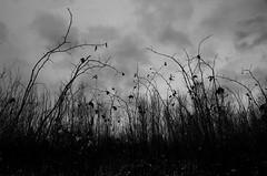 November (Mikael R.) Tags: november autumn winter grass forest tree depressive cloud grey sky black white landscape nikond7000 sigma1750mm28