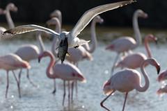 163A9010_DxO (Le Mhaut Sbastien) Tags: oiseaux camargue pont du gau