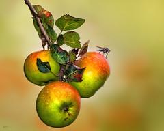 An apple a day... (kunstschieter) Tags: apple fruit fly appel vlieg