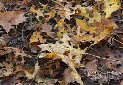 060-IMG_3385 (hemingwayfoto) Tags: ahorn baum blatt georgengarten hannover herbst herbstlaub zerfressen