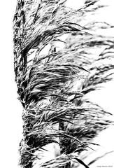 16-15552.jpg (kgsix) Tags: lincolncounty newport usa oregon nyebeach plants unitedstates us