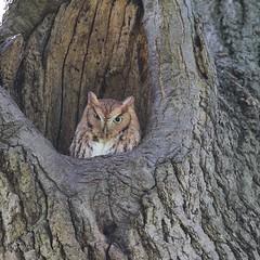 Eastern Screech Owl (andie7664) Tags: owls nature nj birding eastern screech owl