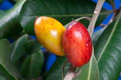 Tawapou (Planchonella novo-zelandica) (Nga Manu Images NZ) Tags: fscientificnames planchonellanovozelandica plantsandfungi tawapou trees