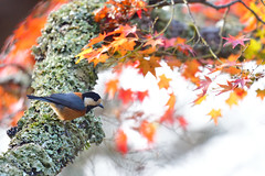 Varied tit (myu-myu) Tags: nature autumn bird wildbird variedtit parusvarius japanesemaple autumnfoliage nikon d500     japan