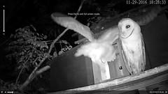 11.29.2016_1828_Foot Down Again ,ItWorked (Birder23) Tags: iggy didi barnowlfledging barnowlets barnowlnesthouse owlchannelcom