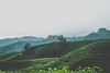 DSCF1116 (tzeyangtan) Tags: cameron highlands getaway green sgpalas tea plantation photography