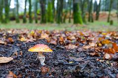 Fly Amanita mushroom