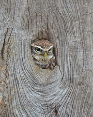 Little Owl (Col-Page) Tags: