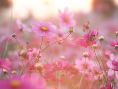 * (t*tomorrow) Tags: olympus omd em10 85mm bbl bokeh flower 花 コスモス 笠岡ベイファーム
