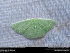 Wavy-lined Emerald (Geometridae, Synchlora aerata) (insectsunlocked) Tags: wavylined emerald lepidoptera geometridae aerata synchlora saerata