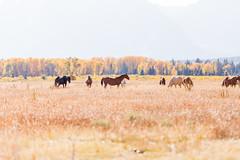 Grand Tetons-1161 (TeamHuerta) Tags: grandtetonnationalpark nationalpark 2016 scenic tetons wy horses