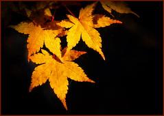 P1130864-1 copy -  Autumnal Acer (dangle earrings) Tags: autumnal acer mygarden topazimpressions enhancement dangleearings panasonicdmcgx8