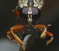 Robber fly Asilidae Airlie Beach rainforest P1150057 (Steve & Alison1) Tags: orange brown robber fly asilidae airlie beach rainforest