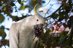 'Om nom nom' (Marua erjal) Tags: australia avstralija bird wildlife cockatoo feeding