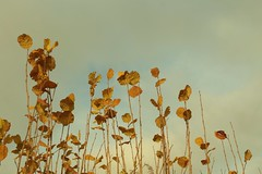 Still Standing (Henry Hemming) Tags: leaf leaves autumn light hazel hedge wind sky standing holding on