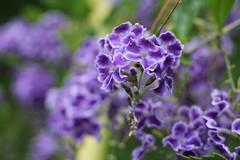 Purple... (MomOfJasAndTam) Tags: purple flower flora plant plants sandiego greenery dof depthoffield duranta