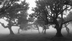 (RicardoPestana2012) Tags: fanal trees forest mist fog scary dark eerie bw floresta rvores nevoeiro atmosphere atmosfera madeira madeiraisland