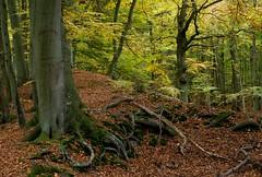 Darss-Wald (Petra R.) Tags: wald forest darss mecklenburgvorpommern deutschland germany baum tree herbst autumn landschaft landscape