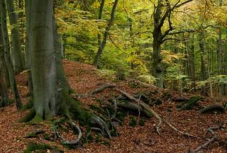 Darss-Wald