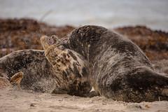 Bullenkampf (Bullfight) (karstenniehues) Tags: helgoland2016dne ngc kegelrobben animal planet beach seals nature