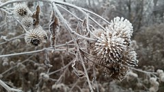 A frosty bramble in King's Park in Winnipeg, Manitoba, Canada (Rob Swystun) Tags: winnipeg manitoba canada frost winter fall bramble plant decay death forest kingspark park trees sky grey gray white brown branch