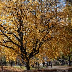 The Mighty Elm (CVerwaal) Tags: autumn centralpark trees elms sonyrx100iii